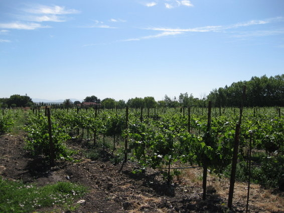 Pinot_Noir_Vineyard_1.JPG